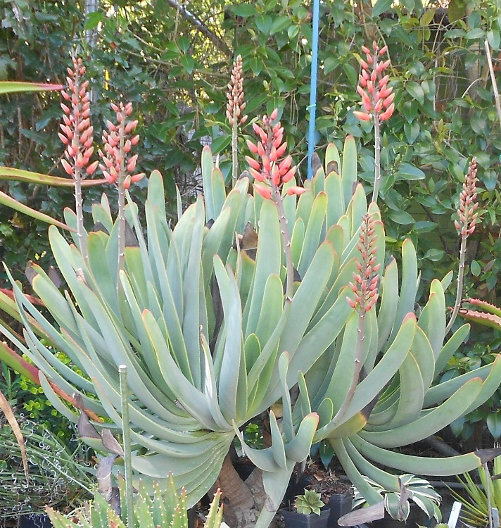 2016 03 22 Aloe plicatillis 8 blooms 2016 x750.jpg