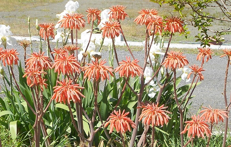2016 04 16 Aloe maculata _ saponaria full bloom a X750.jpg