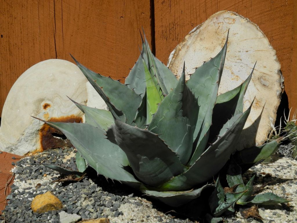 View Topic Dwarf Form Of Agave Havardiana Agaveville